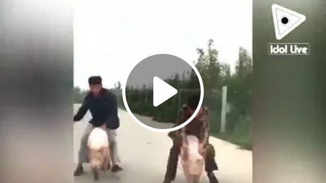 Pig riding competition in China, Pig riding competition, China travel, smart man, men's fashion clothes, fashion shoes