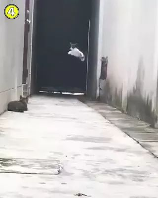 cat is like a football player