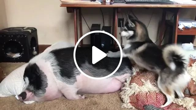 dog tries to wake up lazy pig sleeping in living room