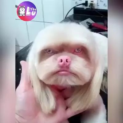 Dog is taken care of new hairstyle