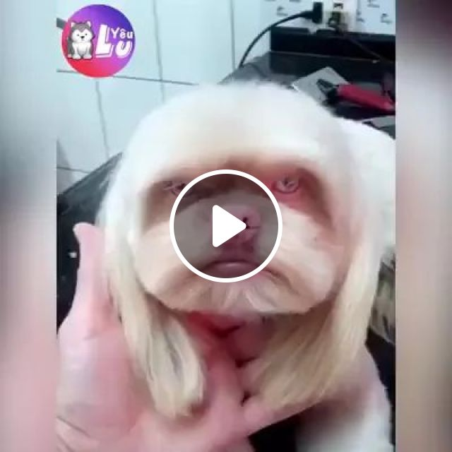 Dog Is Taken Care Of New Hairstyle - Video & GIFs | Cute dogs, white-haired dogs, hair care, pet care