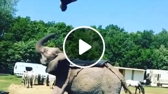 Perfect couple, elephant, performance, acrobatic