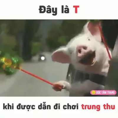 Did you know that Pigs Can Be So Funny