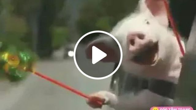 Did you know that Pigs Can Be So Funny, Cute pigs, Japan travel, luxury cars, funny animals