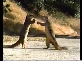 Two squirrels are playing with car on the road