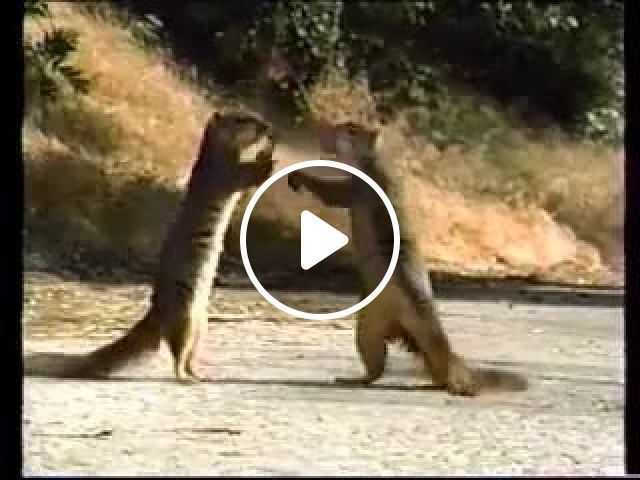 Two squirrels are playing with car on the road, squirrels, playing, luxury vehicle, road