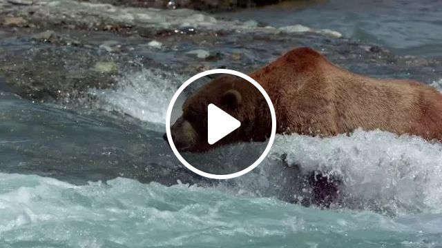 Bears And River - Video & GIFs | bears, nature, rivers, beasts