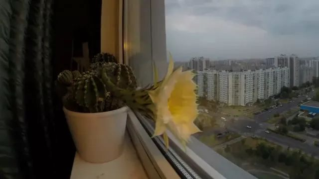 Beautiful Cacti Bloom Before Your Eyes