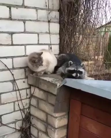 Cat and raccoon can make good friends - Video & GIFs | animals,pets,cats,raccoon