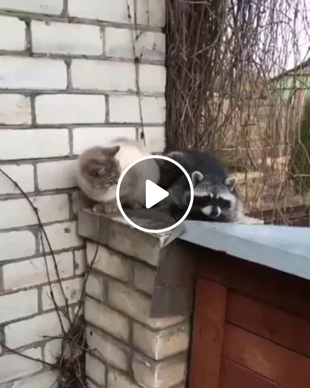 Cat And Raccoon Can Make Good Friends - Video & GIFs   animals, pets, cats, raccoon