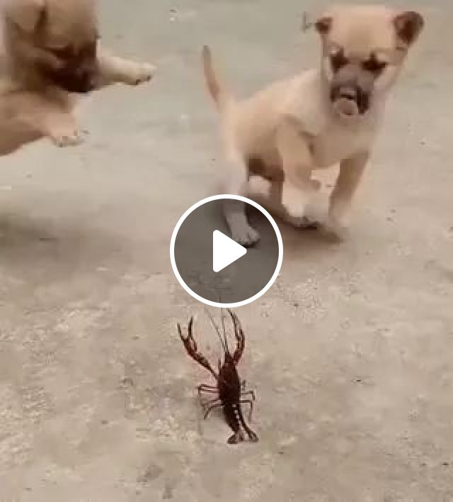 Brave Puppies And Shrimp - Video & GIFs | animals, pets, dogs, dog breeds, shrimp, funny animals