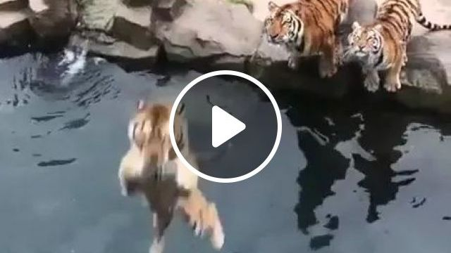 Tigers Are Exercising To Lose Weight To Protect Health - Video & GIFs   animals, pets, tigers, wild animals, animal care, weight loss, good health