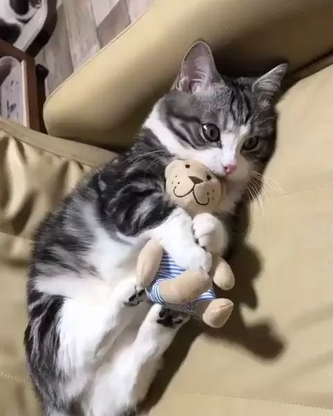 Short-haired American cat with stuffed animal