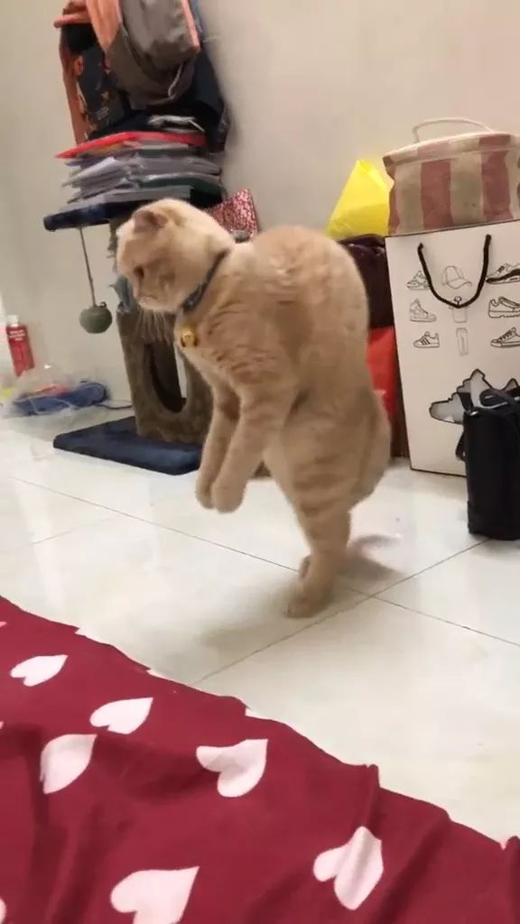 Cats can walk on two feet in bedroom