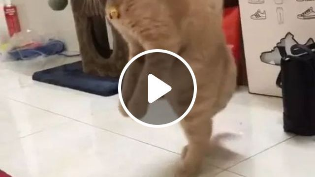 Cats Can Walk On Two Feet In Bedroom - Video & GIFs | animals, pets, cats, bedroom, bedroom furniture
