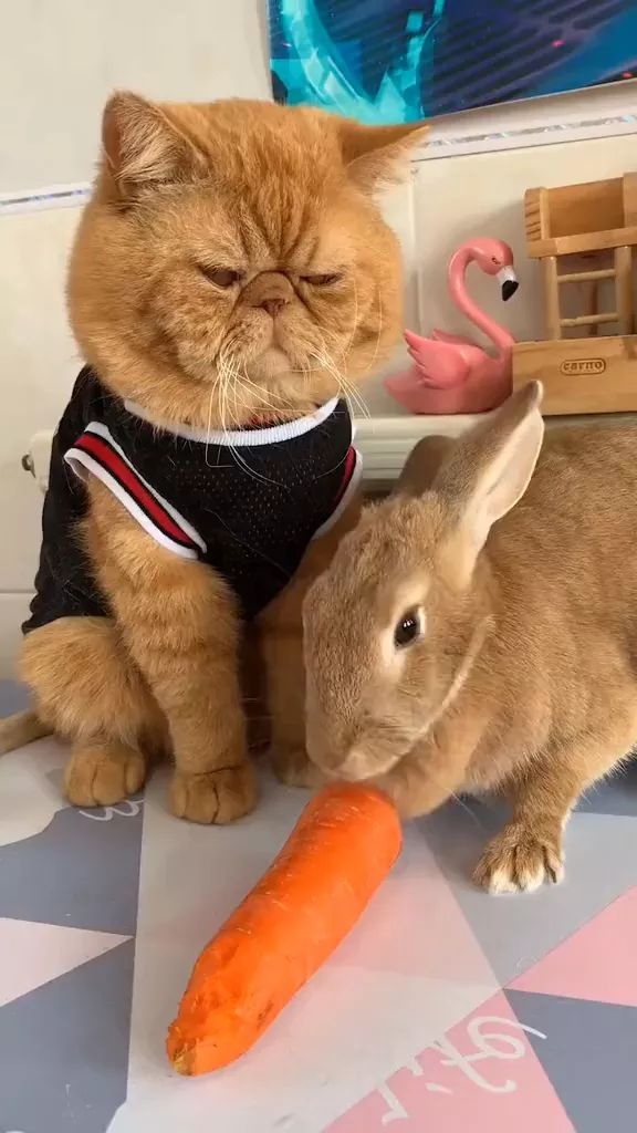 Yellow cat waiting for rabbit to eat carrot