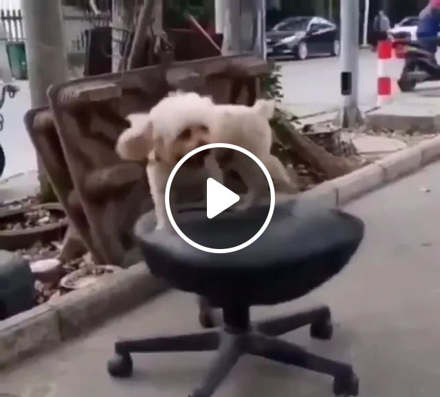 Dog With Cushion Chair - Video & GIFs   dogs, animals, pets, seat cushion
