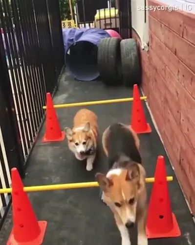 Smart dog is overcoming obstacles
