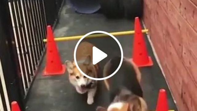 Smart Dog Is Overcoming Obstacles - Video & GIFs   animals, pets, smart dogs, yellow dogs, dog training