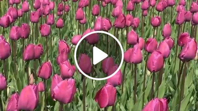Largest Collection Of Tulips In World. Keukenhof Is Open Only Two Months - Video & GIFs   collection of tulips, keukenhof, holland travel, beautiful scenery
