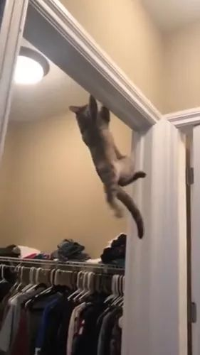 My cat climbed very well - Video & GIFs | animals,cute pets,cats,cat breeds,fashion clothing stores