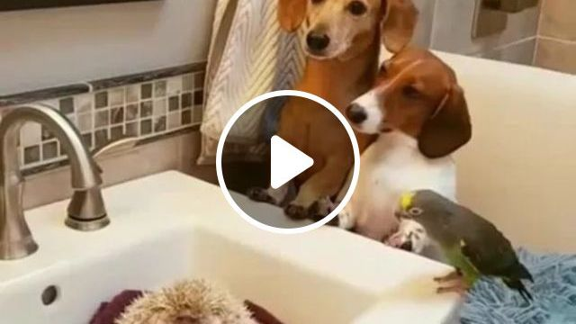 In bathroom, dogs and a parrot watching hedgehog in sink, animal, bathroom, bathroom furniture, bathroom equipment, washbasin