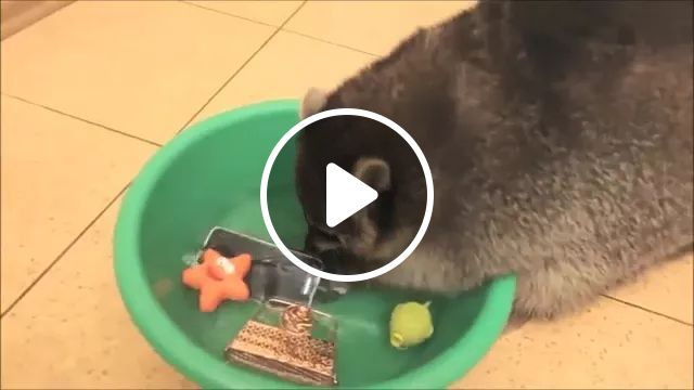 Raccoon Is Trying To Clean Smartphone - Video & GIFs | raccoon, clean wash, smartphone, funny animals, luxury apartments