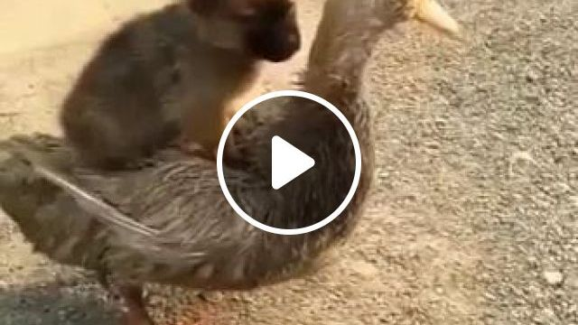 Puppy and duck are best friends, animals, pets, puppies, dog breeds, ducks, friendly