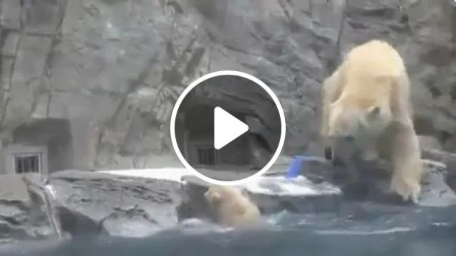 Hero, mother bear save baby bear from lake in zoo, hero, mother bear, rescue, baby bear, escape, lake, zoo, adorable