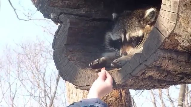 Lovely raccoon uses front legs to hold food - Video & GIFs | raccoon, lovely, front legs, hold, food, adorable, animal food