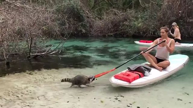 Raccoon steal tourists' bags on the river
