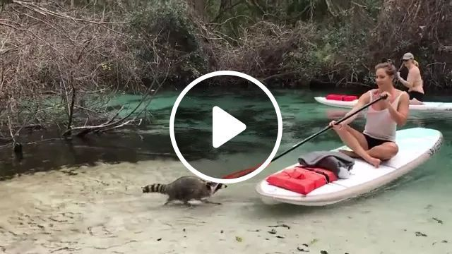 Raccoon Steal Tourists' Bags On The River - Video & GIFs   raccoons, steal, bags, tourists, river, luggage, Italy travel, boats