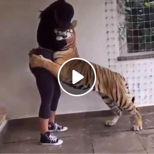 tiger is happy to meet girl in zoo