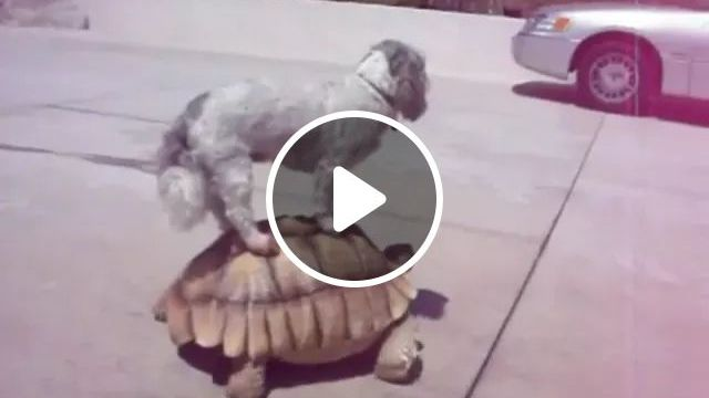dog sits on the shell of turtle, both walk streets, dog, sitting, on turtle shell, turtle, both walking, luxyry car, luxury vehicle