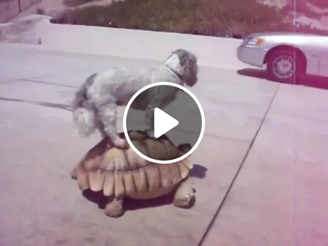 dog sits on the shell of turtle, both walk streets