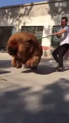 a man tries to keep giant dog - Video & GIFs | man, trying, holding, huge, adorable dog, bicycle