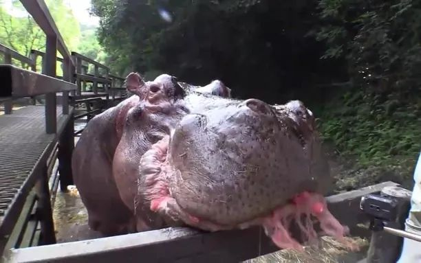 In zoo, hippos eat delicious watermelons