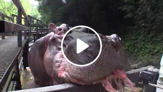 In Zoo, Hippos Eat Delicious Watermelons - Video & GIFs   zoo, tourist, hippopotamus, eat, watermelon, very delicious
