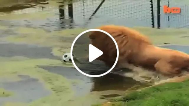 Lions love to play with ball in zoo, Lions, animals, wild animals, play, balls, zoo