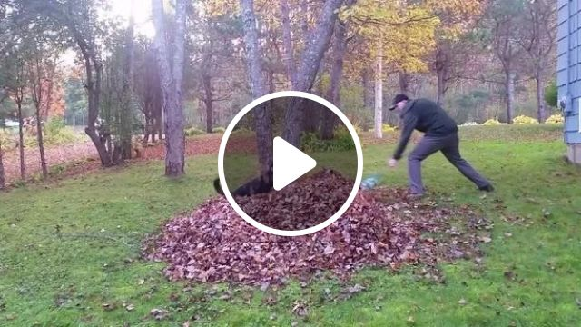 dog helps a man collect dry leaves around house