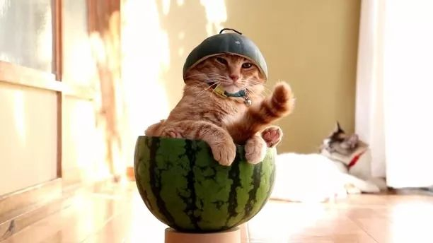 Perhaps, cat sitting in watermelon is very sad to see happy cats