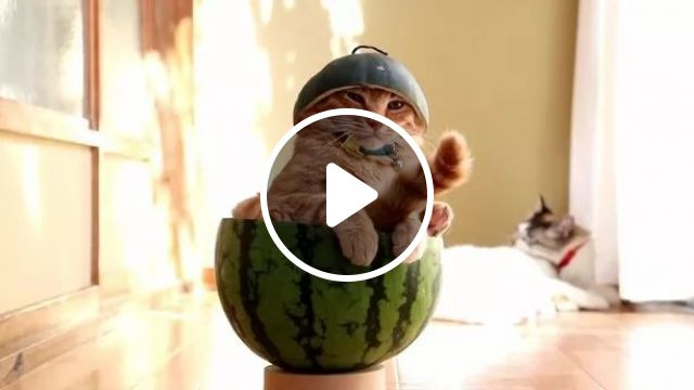 Perhaps, Cat Sitting In Watermelon Is Very Sad To See Happy Cats - Video & GIFs | Cats, adorable, pets, cat breeds, animals