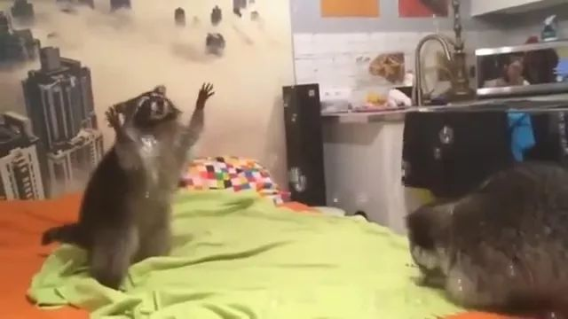 Raccoon is happy to touch soap bubble in kitchen - Video & GIFs   raccoon, very happy, touching, bubbles, soap, kitchen, microwave, refrigerator, sink, cooking utensils