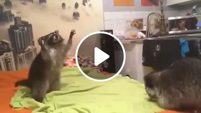 Raccoon Is Happy To Touch Soap Bubble In Kitchen - Video & GIFs | raccoon, very happy, touching, bubbles, soap, kitchen, microwave, refrigerator, sink, cooking utensils