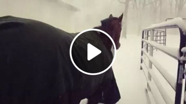Letting Horses Out In Snow - Video & GIFs   horse, winter, warm coat, snow, winter coat