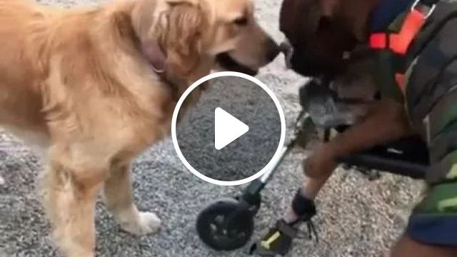 Dog Making Sure His Recovering Friend Isn't Treated Too Ruffly - Video & GIFs   golden retriever, dog breed, dog care, health, recovery