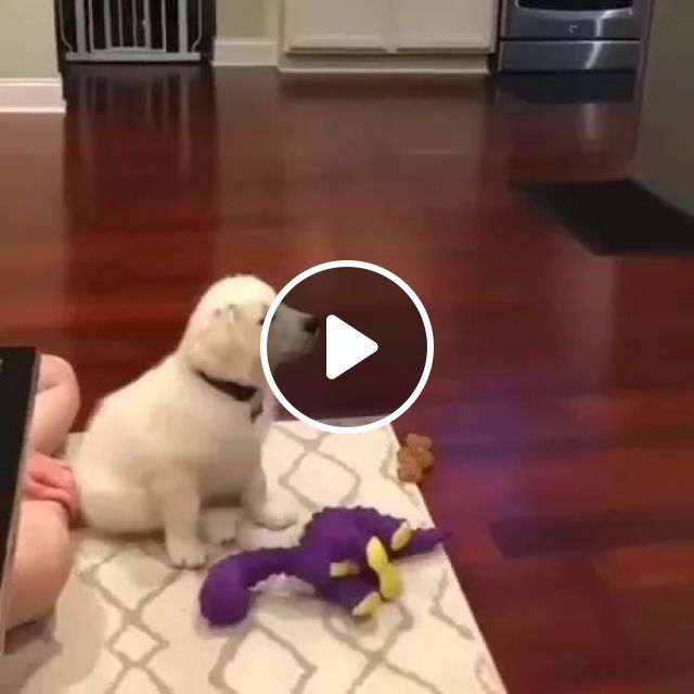 Puppy Wants To Give Up Everything He's Doing And Decide To Watch Some Cartoons On The TV In Living Room - Video & GIFs   puppies, pets, animals, watch, some cartoons, premium tv, living room, luxury furniture
