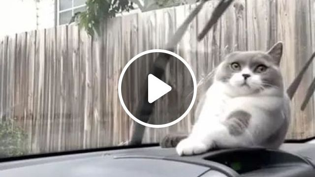Lol..cat Thinks It's Going To Get Hit By Windshield Wipers - Video & GIFs | cats, animals, pets, windshield wipers, luxury cars, luxury vehicles