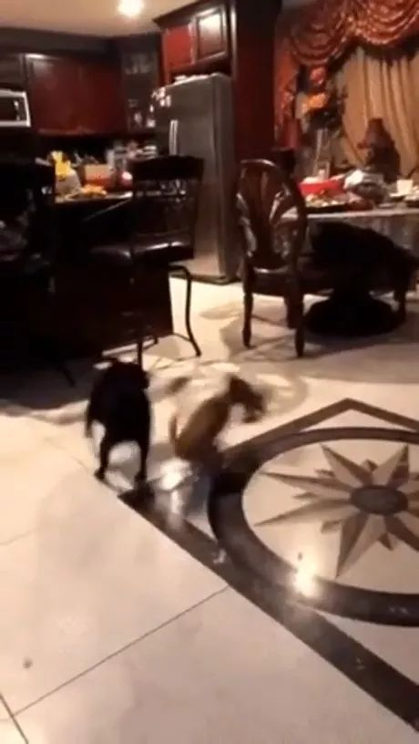 In kitchen, puppy is very fast - Video & GIFs | kitchen, refrigerator, dining table, chairs, cooking utensils, puppy, adorable, very fast