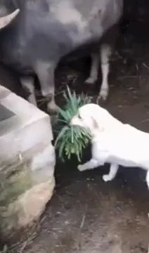 Good dog takes grass to feed cow - Video & GIFs | dogs,adorable,animals,pets,get grass,take care of cows